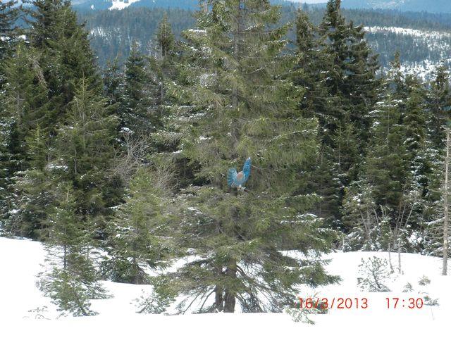 Auerhahn im Baum