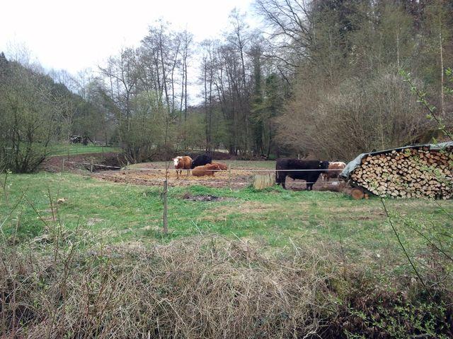 Rinder an der Kochenmühle