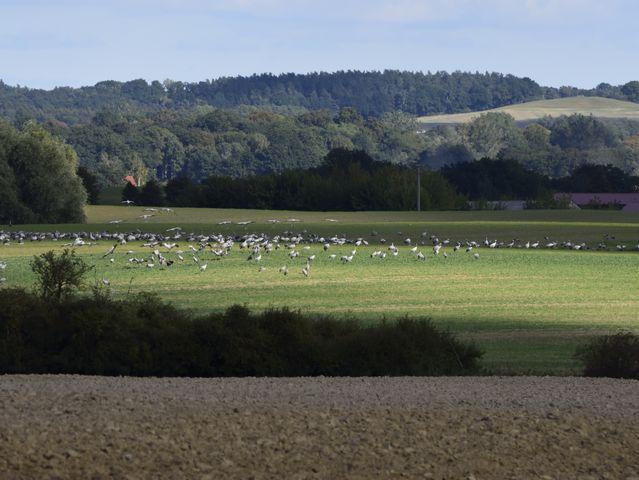 Kraniche auf den Feldern